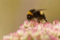 buff-tailed bumblebee on a showy stonecrop