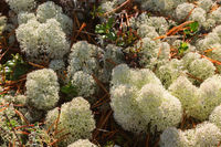 Reindeer moss in the forest