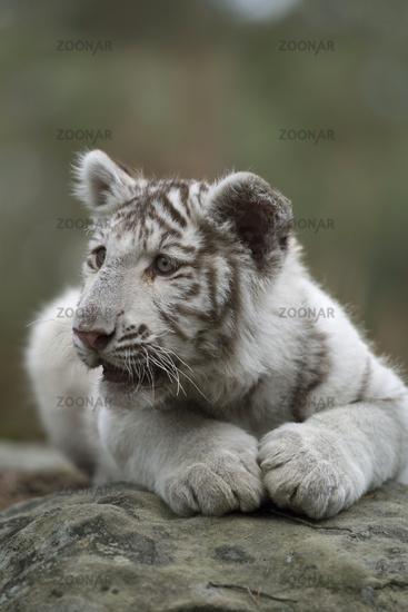 Royal Bengal Tiger * Panthera tigris * white, older cub, cute