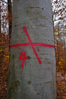 Colour marking on a red beech tree showing a back lane
