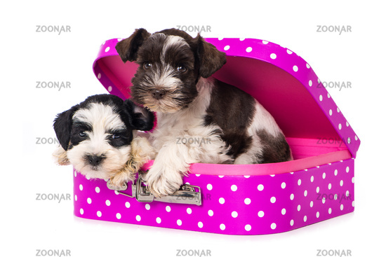 Two puppies in a suitcase