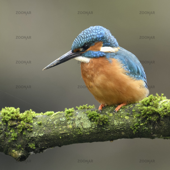 Eurasian Kingfisher * Alcedo atthis *has dirt on its beak after digging its nesting burrow