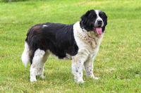 Germanic Bear Dog