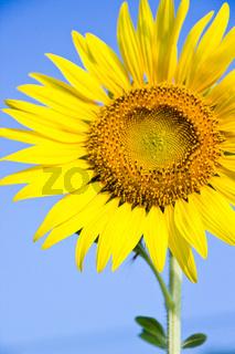 Sunflower against the blue sky