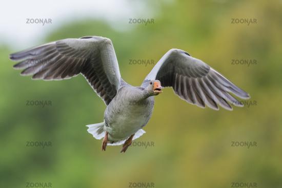 Greylag Goose flying, Anser anser