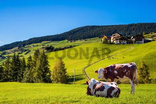 Cows on the green grass hillside