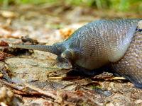 Ashy-Grey Slug
