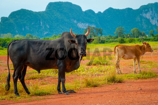 Cow in a field, Phatthalung