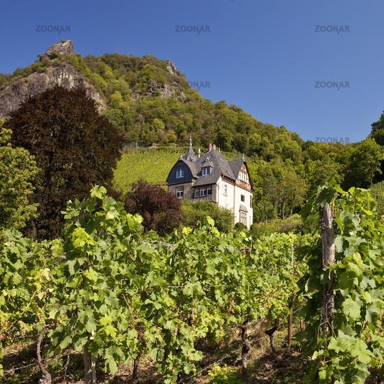vineygards at the Drachenfels, Bad Honnef, North Rhine-Westphalia, Germany, Europe