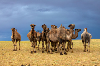 Group camels in steppe and storm sky