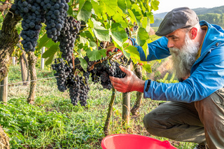 a vineyard red grapes harvest