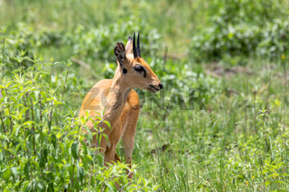 Oribi antelope Ethiopia, Africa wildlife