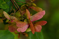 Vine leaf maple fruits