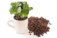 coffee plant and coffeebeans from side, isolated