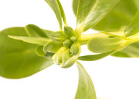 Organic healthy Green Purslane