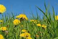 Summer field with yellow dandelions