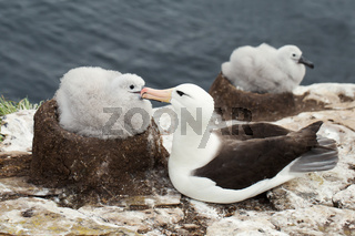 Black-browed Albatross with a chick in its mud cup nest