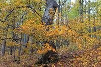 European beech in autumn