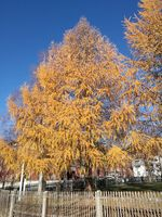 A larch in late autumn