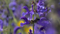meadow clary or meadow sage