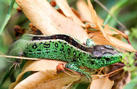 A male fence lizard in grass
