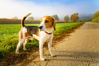 Dog purebreed beagle outdoors in nature on a rural asphalt road to forest between fields. Sunny colorful day countryside sunrise.