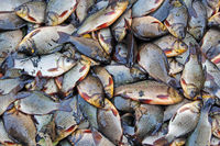 Caught crucians and pikes on green grass. Successful fishing. A lot of crucian carps and pikes