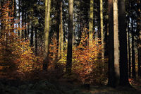 Young beech trees in the spruce forest