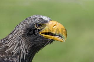Riesenseeadler, Haliaeetus pelagicus, Stellers Sea Eagle