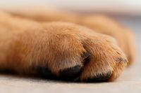 German shepherd dog's paw - close up photo