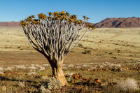 Single quiver tree in Namibia 3
