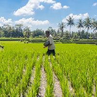 Male farmer working in beautiful rice terrace plantation near Ubud,Bali, Indonesia, south east Asia