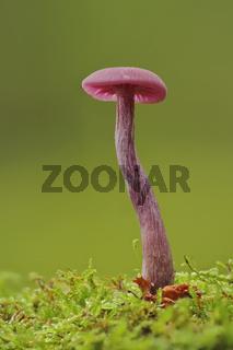 Violetter Lacktrichterling (Laccaria amethystina)