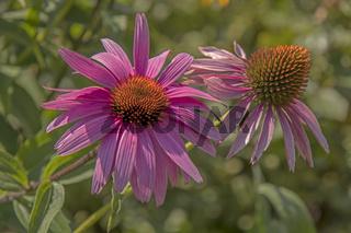 Purpur-Sonnenhut 'Echinacea purpurea'
