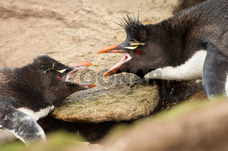 Close-up of two Southern Rockhopper penguins arguing
