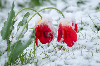 Red tulips covered with snow. The tulips under the snow.
