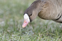 Greater White-fronted Goose * Anser albifrons * in winter, feeding on frosty grass