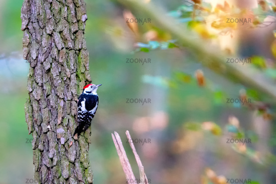 Middle spotted woodpecker (Dendrocoptes medius)