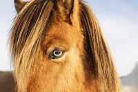 Close up view of a beautiful brown Icelandic horse