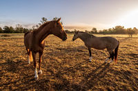 two horses in the sunrise