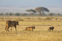 Lioness with 3 cubs, Amboseli, Kenya, Africa