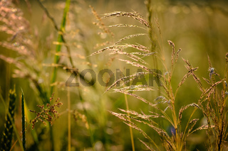 Closeup image of field plants in a beautiful nature near Maisach