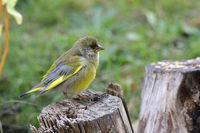 Parasitic disease by a European greenfinch