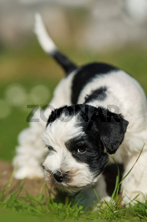 Toy snauzer dog in a meadow