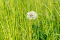 Dandelion seed head in green grass