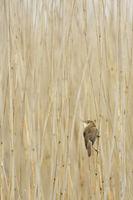 Sedge Warbler * Acrocephalus schoenobaenus * in typical surrounding