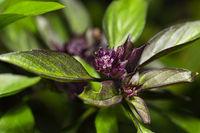 Thai basil flower