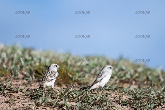 white-rumped snow finch