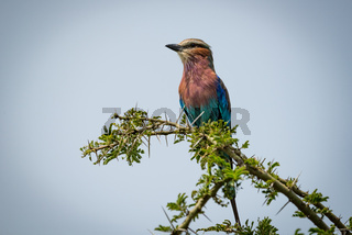 Lilac-breasted roller facing left on thorny branch