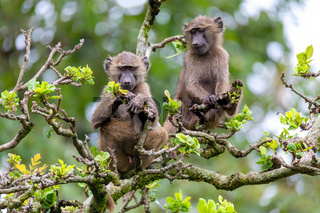chacma baboon on tree, Ethiopia, Africa wildlife